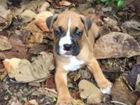I have adorable boxer puppies who are looking for