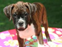 Purebred boxer puppies, we have 2 Male Boxer Puppies
