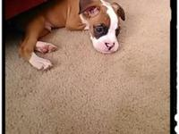 I have a 8 week poppie boxer. clip tail and i have the