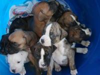 Boxer Puppies have arrived on Thursday September 3,