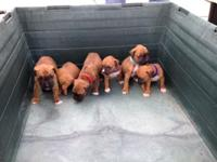 I have 6 female 4 week old purebred fawn and brindle