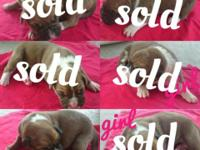 Boxer puppies $480 1 male left. tail docked $50