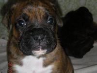 Beautiful brindle boxer puppies. registered   2