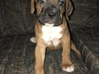 We have 4 Boxer puppies left! 1 female flashy brindle