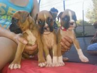 FULL BREED BOXER PUPS READY IN 2WKS 1ST VACCINE