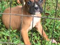 AKC Champion Bloodlines Boxer Babies 4 girls and 2 boys