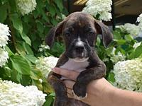 Boxer puppies's story Boxer mix puppies. One female and