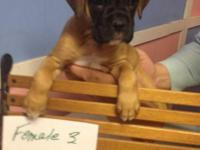 Boxer Puppies born December 14th Are up to date on