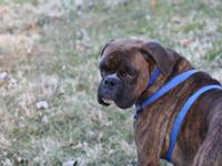 Now accepting deposits for CKC Boxer puppies. The Sire