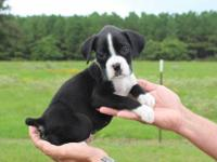 Beautiful AKC sealed brindle (black and white) female