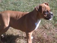 I have two male Boxer puppies for sale that were born