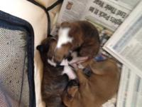 4 male puppies ready on April 30th Taking deposits will