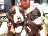 BOXER PUPPIES, AKC & DNA Reg. 2 sets of shots, wormed 2