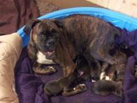 Boxer puppies for sale CHRISTMAS PUPPIES Puppies born