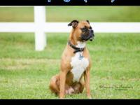 Boxer puppies for sale. All puppies have had their