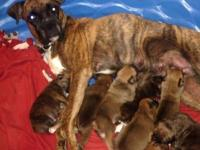 We have a litter of nine purebred boxer pups. They were