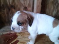 6 weeks old boxer puppie NO PAPERS s 3 males and 2
