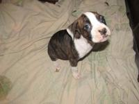 I have one fighter puppy left that is offered for a new