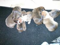 Full Blooded Boxer Puppies for sale Parents are on site