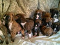 We have boxer puppies available to new homes! Purebred,
