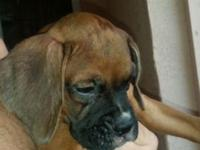 I have 5 gorgeous boxer puppies..ready for their new