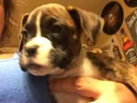 CKC boxer pups tails docked, UTD on shots vet checked