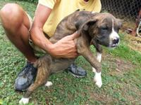 If you are a breeder, akc signed up boxer puppies 13
