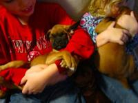 Gorgeous fawn puppy male, Both parents are A.K.C. reg.