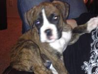 Beautiful CKC boxer brindle, 9 week old puppy. He was