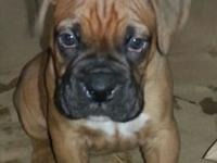 Boxer puppy , father akc/ckc mother ckc reg. Puppy will