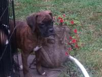 I have one 11 week old female brindle Boxer puppy. She