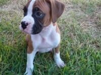 Beautiful Boxer puppies have first set of shots and