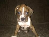 I have a beautiful brindle female. She is looking for