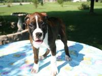 Purebred Female Boxer Puppy (Towsie) Parents are