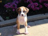 Beautiful AKC Boxer Puppy!!! She will be ready for his