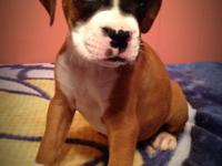 Gorgeous flashy fawn male pup!! He is available To go