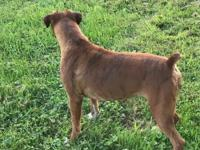 Buster is a cute brindle male! He has a little white