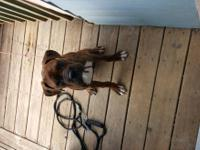male boxer for sale. brindle with champion bloodline.