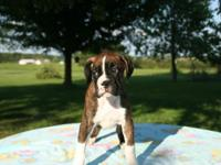 Purebred Female Boxer puppy (Ana) Parents are