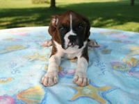 Purebred female boxer puppy (Elsa) Parents are