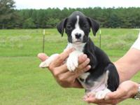 Beautiful AKC sealed brindle (black and white) male