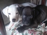 These pure breed boxers are looking for a great at