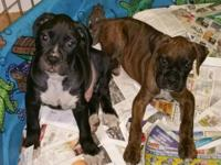 AKC Boxer pups registered with American kennel