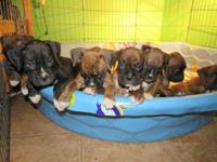AKC BOXER PUPPY'S Brindle and Sealed Brindle pups