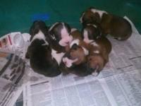 I have 6 gorgeous baby boxers. They are 3 weeks old and