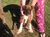 Complete blooded Boxer pups born July 3rd. Has been