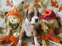 AKC Champion sired Boxer pups--I have 4 females