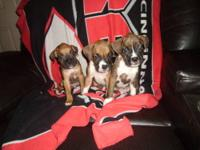 We had 8 Beautiful CKC Registered Boxer Pups with