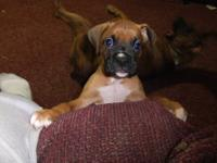 We have 2 male boxer pups lefted. they are 6 weeks old.