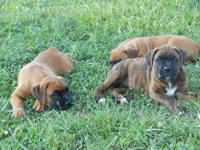 CKC Registered Boxer puppies for sale $200 OR BEST